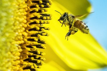 pasieki w mieście, pszczoły w misęcie