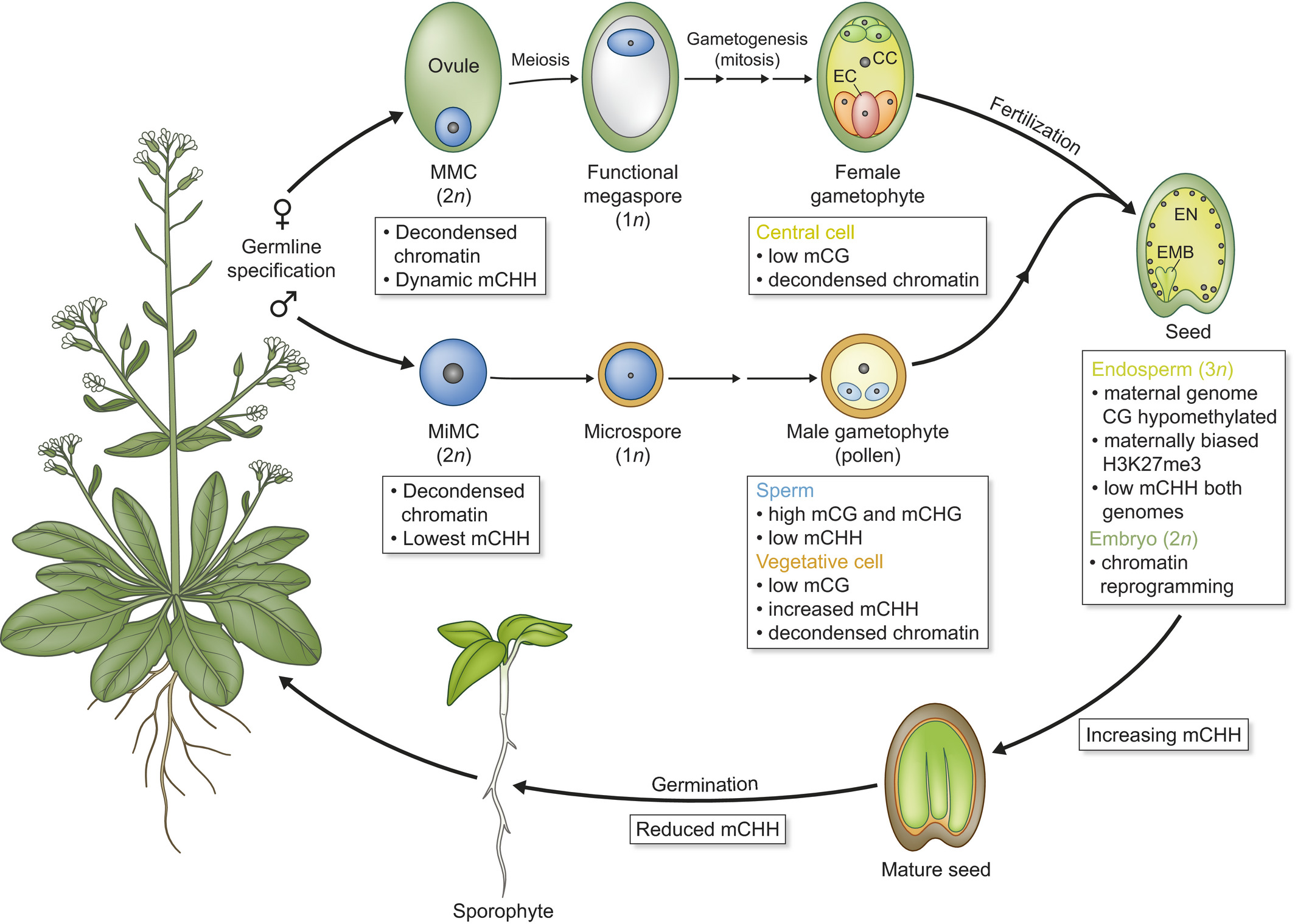 Epigenetic Dynamics During Flowering Plant Reproduction