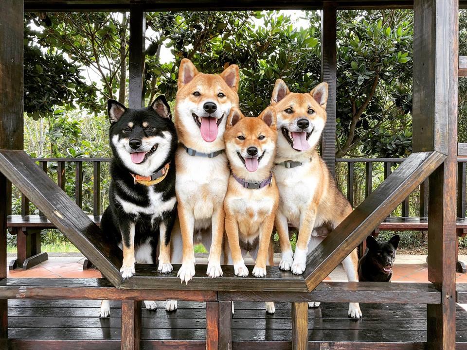 返回編輯模式柴犬《Mikasa》一家:連挑嘴的柴柴也愛吃的天然潔牙骨