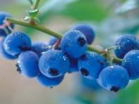 uva-monte