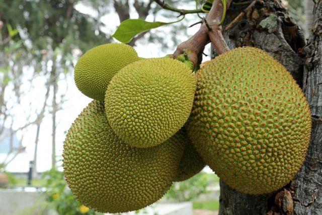 A semente da Jaca é estudada por pesquisadores na USP de Ribeirão Preto