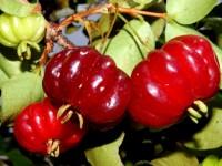 pitanga-fruto