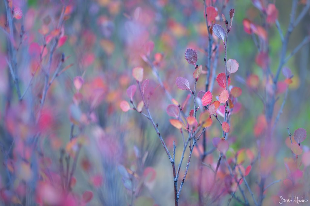 Sarah Marino Birch Medley Autumn 1200px Watermark
