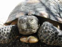 Desert Tortoise Mojave National Preserve US National