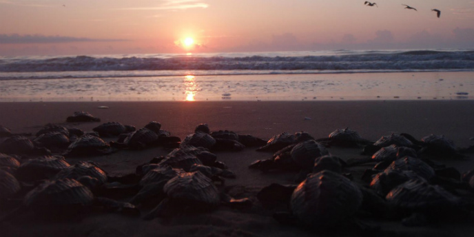 How To See A Sea Turtle Hatchling Release