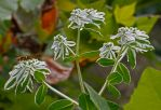 Euphorbia marginata - Snow-on-the-Mountain
