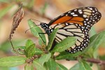 Danaus plexippus - Monarch Butterfly on Asclepias sp. Butterflyweed