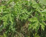 Cnidoscolus texanus - Texas Bullnettle