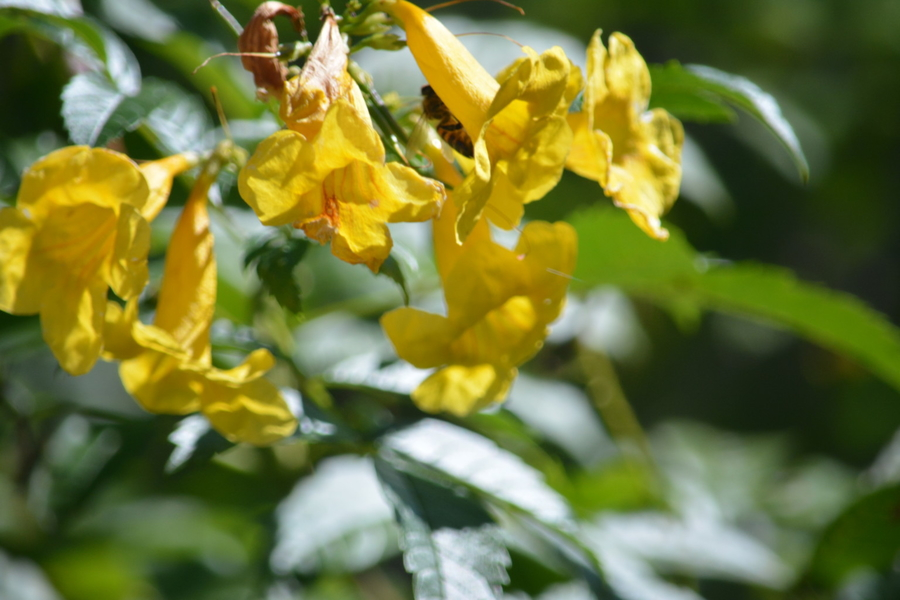 Yellow Bells (Tecoma stans)
