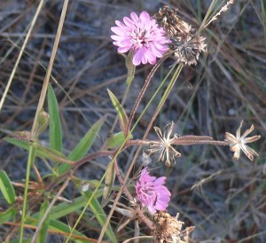 Sand palafoxia on the Burleson Prairie. (Photo by Bill Ward)