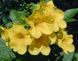 Esperanza flowers during mid summer in our yard. (photp by Bill Ward)