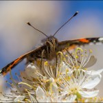 Mexican plum (Prunus mexicana with Red Admiral butterfly. Photo by Steven Schwartzman,.