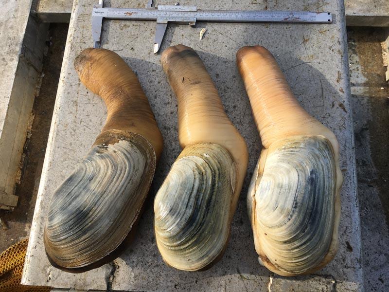Commercial Shellfish Management – Geoduck Survey