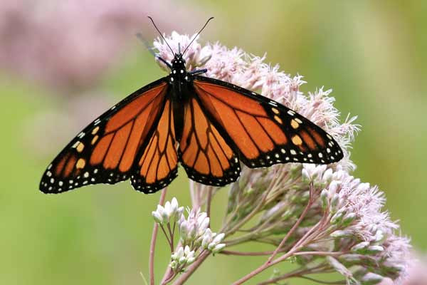 Save Monarch butterfly! An urge by artists, scientists to North America