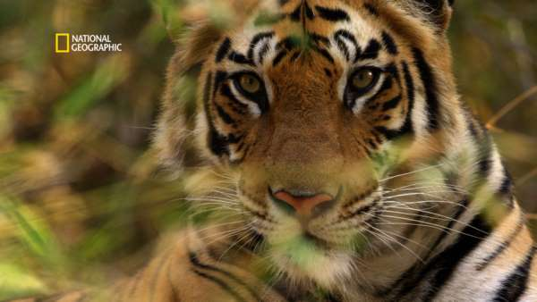 """National Geographic presents """"Counting Tigers"""", a documentary on the momentous exercise of India's Tiger Census"""