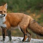 NEIGHBORHOOD ALERT: Fox Attack on Resident's Pet