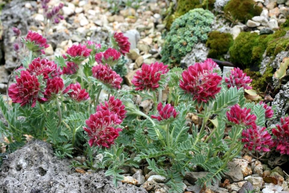 Anthyllis montana 'Carminea'