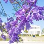 初夏を告げる5月下旬 ロサンゼルスは「ジャカランダ」が満開!