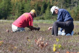 Visitors to Lunenburg County's Terra Beata Farm harvest cranberries during the u-pick.