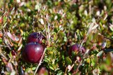 The cranberries grow on bushes that are only about eight or 10 inches high. Although largely dry for the u-pick, the bog will be flooded for the commercial harvest later in the season.