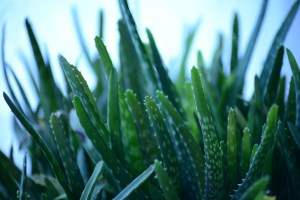 Dušeci i naddušeci NSFOAM- navlake Aloe Vera-Lekovitost Aloe Vere