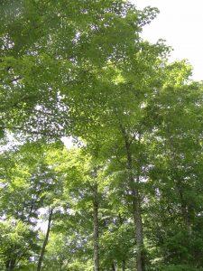 Sugar maples on Wilf Creighton's Woodlot