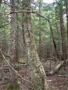 This private woodlot could earn additional $ under Cap and Trade
