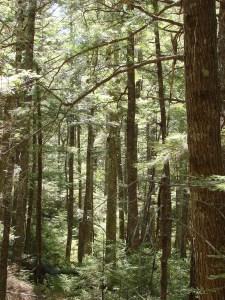 Hemlock forest in SW Nova Scotia