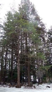 Hemlock was a common Witness Tree in historical documents in the area of Kouchibouguac Park, N.B., but is not common on that landscape today
