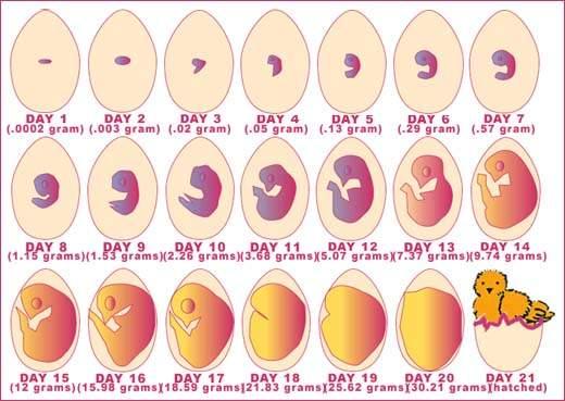 """Résultat de recherche d'images pour """"evolution de l'oeuf"""""""