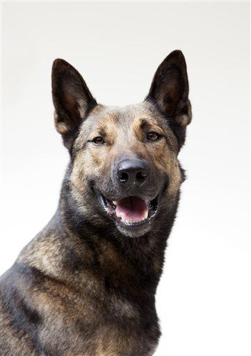 Max Movie Dog Breed : movie, breed, Carlos,, Unknown, Canine, Military, Drama, 'Max', Spartan