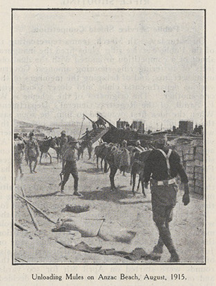 Unloading Mules on Anzac Beach, August, 1915. From Railway Budget NRS 15298-1-4[24]_p277