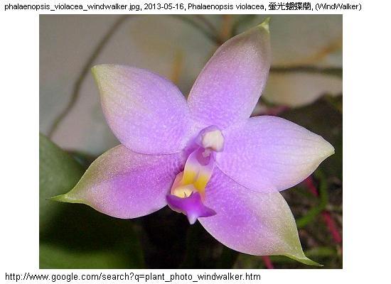 Phalaenopsis spp, Moth orchid genus, 蝴蝶蘭屬, Malaysia plant photo, 馬來西亞植物照片