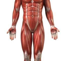 Arm Muscles Anatomy Diagram Blank Gibson Wiring 500t Muskler – Et Undervisningsmateriale Til Naturteknologi Indskoling