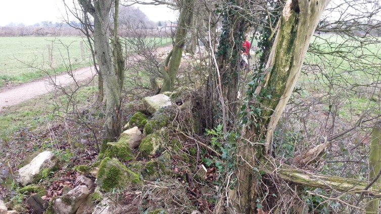 Clearing trees and shrubs from the dilapidated wall.