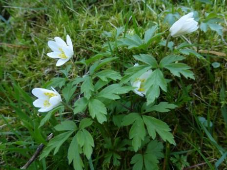 Wood anemone (Anemone nemorosa) - Smallcombe Vale Cemetery