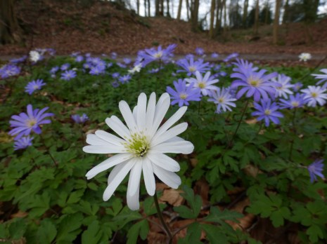 Anemone - I am unsure which species this is, perhaps a Balkan anemone (Anemone blanda) - Fairy Woods