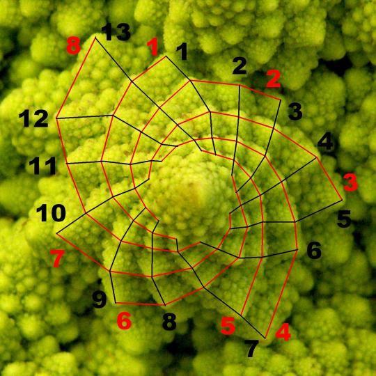 Fibonacci y la sucesión del arte más la naturaleza