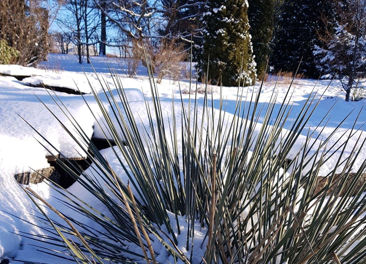 winter glauca