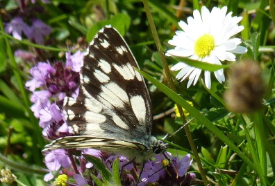 Marbled White (BW)