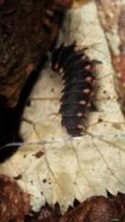 Ladybug larvae...