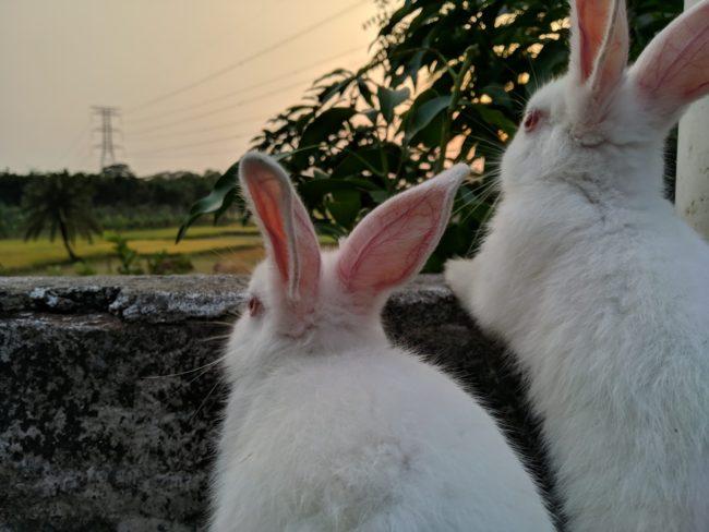 ウサギの爪切り頻度は?
