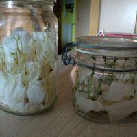 la planta blanca, un experimento de fotosíntesis