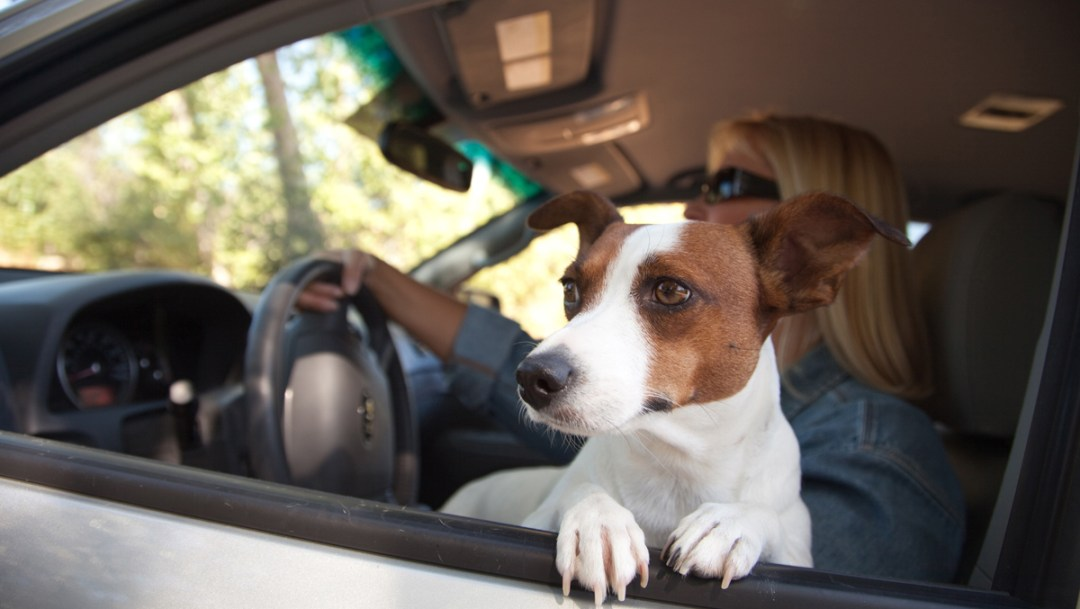Como las mascotas son miembros importantes de la familia, es justo que los conductores tengan en consideración su seguridad,