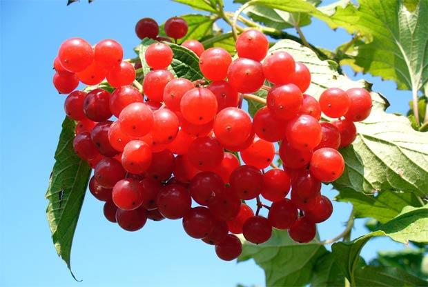 arandano-rojo