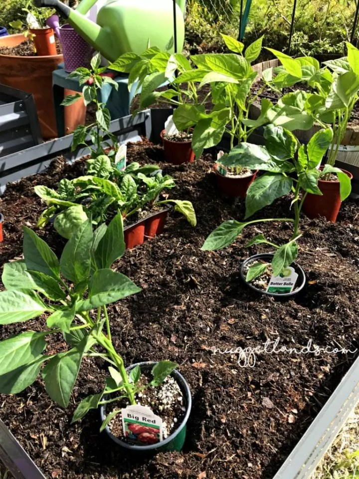 vegetable garden bell peppers