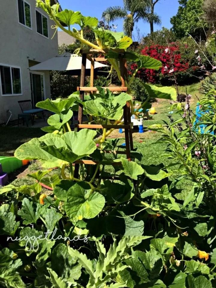 garden tips squash tower