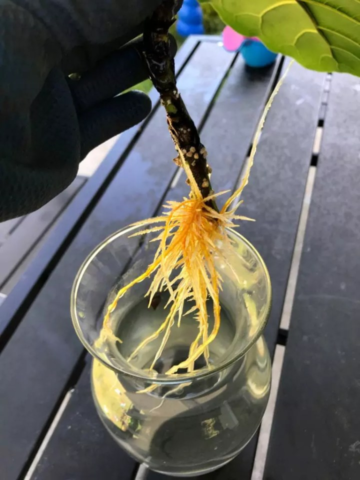Fiddle Leaf Fig Care Tips Roots