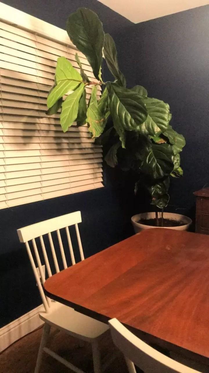 Fiddle Leaf Fig Tree Care Tips.jpg