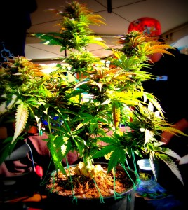 Got Bud? High Times 2012 Medical Cannabis Cup Lacking in Green, Big on Dabs